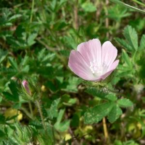 Photographie n°23073 du taxon Althaea hirsuta L.