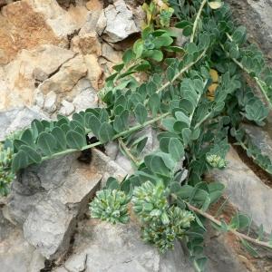 Photographie n°23086 du taxon Telephium imperati L.