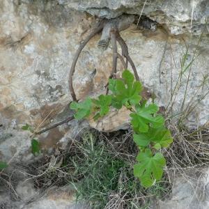 Photographie n°23094 du taxon Ficus carica L.