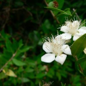 Photographie n°23099 du taxon Myrtus communis L. [1753]