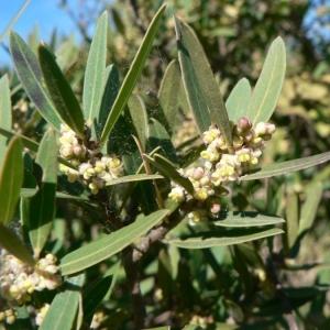 Photographie n°23122 du taxon Phillyrea angustifolia L. [1753]