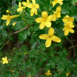 Photographie n°23125 du taxon Jasminum fruticans L. [1753]