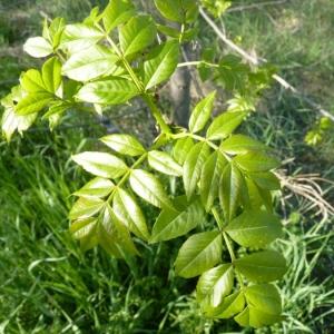 Photographie n°23139 du taxon Fraxinus angustifolia Vahl