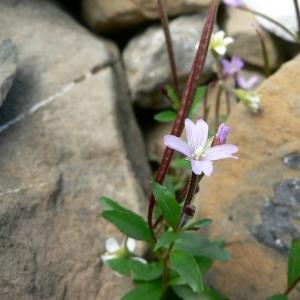 Epilobium anagallidifolium Lam. (Épilobe à feuilles de mouron)