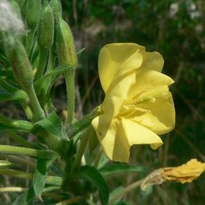 Oenothera rubricaulis Kleb. (Onagre)