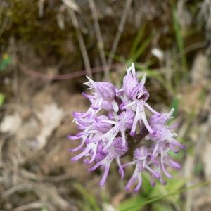 Photographie n°23212 du taxon Orchis simia Lam. [1779]