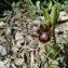 Mathieu MENAND - Ophrys ciliata Biv. [1806]