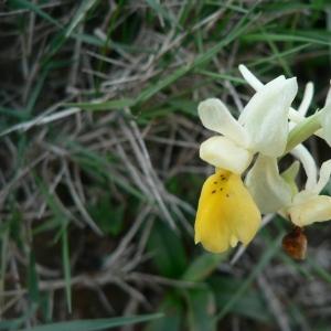 Orchis pauciflora Ten. (Orchis à fleurs peu nombreuses)