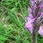 Mathieu MENAND - Dactylorhiza elata subsp. sesquipedalis (Willd.) Soó [1962]