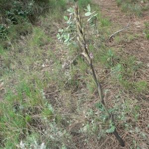 Photographie n°23262 du taxon Limodorum abortivum (L.) Sw.