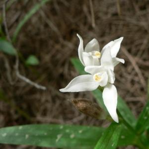 Photographie n°23305 du taxon Cephalanthera longifolia (L.) Fritsch [1888]
