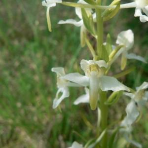 Photographie n°23328 du taxon Platanthera bifolia (L.) Rich.