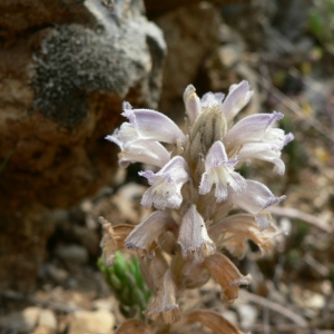 Photographie n°23384 du taxon Orobanche ramosa L. [1753]