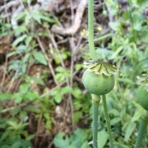Photographie n°23422 du taxon Papaver somniferum L.