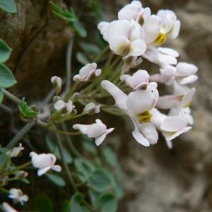 Sarcocapnos enneaphylla (L.) DC. (Fumeterre à neuf folioles)