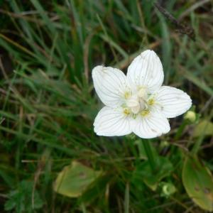 Photographie n°23486 du taxon Parnassia palustris L. [1753]