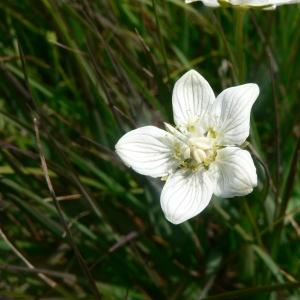 Photographie n°23488 du taxon Parnassia palustris L. [1753]