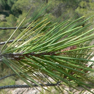 Photographie n°23492 du taxon Pinus nigra subsp. salzmannii (Dunal) Franco