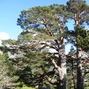Photographie n°23493 du taxon Pinus sylvestris L. [1753]
