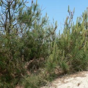 Photographie n°23494 du taxon Pinus pinaster Aiton [1789]