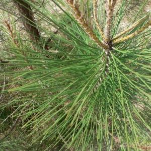 Photographie n°23496 du taxon Pinus pinaster Aiton [1789]