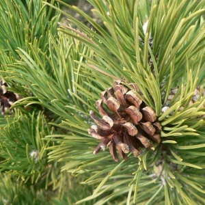 Photographie n°23497 du taxon Pinus uncinata Ramond ex DC.