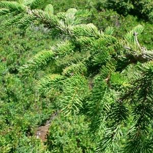 Photographie n°23498 du taxon Picea abies (L.) H.Karst.