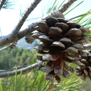 Photographie n°23502 du taxon Pinus nigra subsp. salzmannii (Dunal) Franco