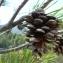 Mathieu MENAND - Pinus nigra subsp. salzmannii (Dunal) Franco