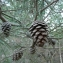Mathieu MENAND - Pinus halepensis Mill.