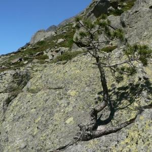 Photographie n°23508 du taxon Pinus uncinata Ramond ex DC.