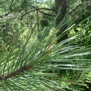 Photographie n°23511 du taxon Pinus halepensis Mill.