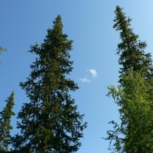 Photographie n°23515 du taxon Picea abies (L.) H.Karst.