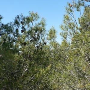Photographie n°23516 du taxon Pinus nigra subsp. salzmannii (Dunal) Franco