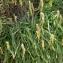 Mathieu MENAND - Plantago maritima subsp. maritima