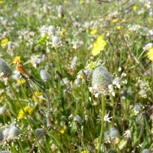 Photographie n°23557 du taxon Plantago lagopus L.