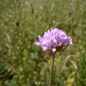 Photographie n°23572 du taxon Armeria arenaria (Pers.) Schult.