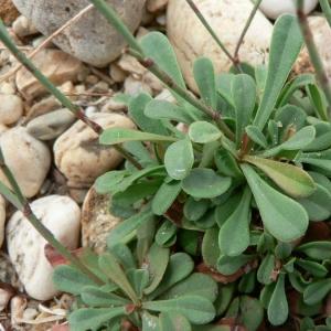 Photographie n°23582 du taxon Limonium virgatum (Willd.) Fourr. [1869]
