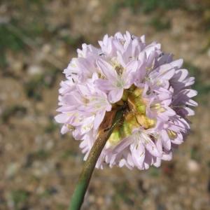 Photographie n°23589 du taxon Armeria arenaria (Pers.) Schult.