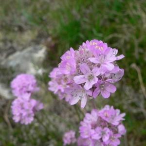 Photographie n°23595 du taxon Armeria alpina Willd. [1809]