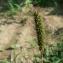 Mathieu MENAND - Setaria viridis subsp. viridis