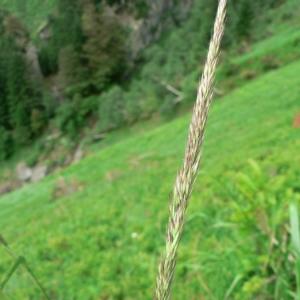- Calamagrostis arundinacea (L.) Roth [1788]