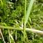 Mathieu MENAND - Calamagrostis arundinacea (L.) Roth [1788]
