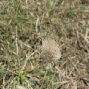 Photographie n°23867 du taxon Lagurus ovatus L.