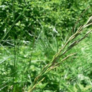 Photographie n°23895 du taxon Festuca arundinacea Schreb. [1771]