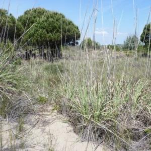 - Erianthus ravennae (L.) P.Beauv.
