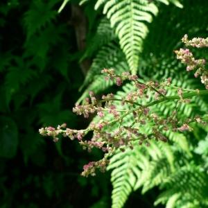 Rumex arifolius All. (Rumex à feuilles d'arum)