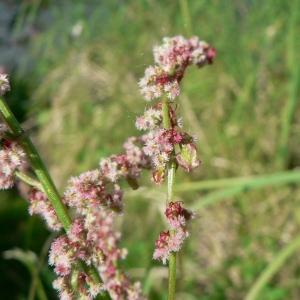 Photographie n°23984 du taxon Rumex acetosa L. [1753]