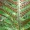 Mathieu MENAND - Polypodium cambricum L.