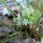 Mathieu MENAND - Claytonia perfoliata Donn ex Willd. [1798]